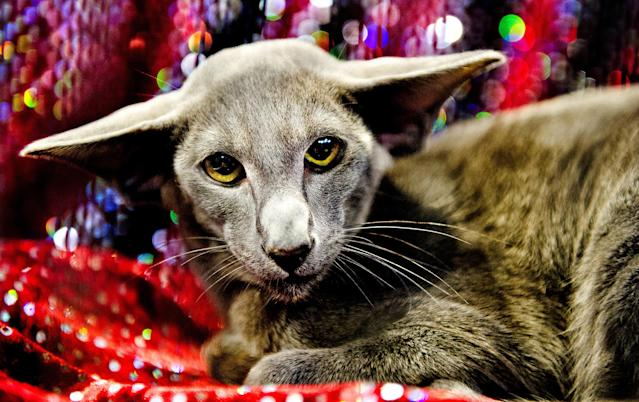 <p>Pashtan Wagner, a Blue Oriental Cat participates in the GCCF Supreme Cat Show at National Exhibition Centre on October 28, 2017 in Birmingham, England. (Photo: Shirlaine Forrest/WireImage) </p>