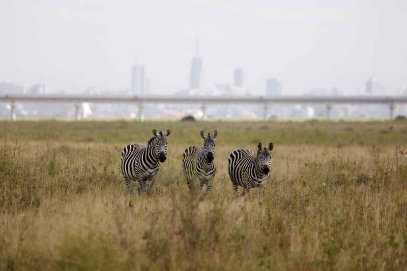 A view of zebras grazing with a bridge of the Standard Gauge Railway (SGR) line in the background, inside the Nairobi National Park in Kenya
