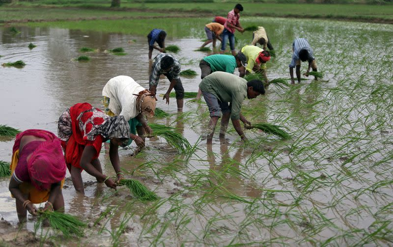 India's rice output could hit record as farmers expand area