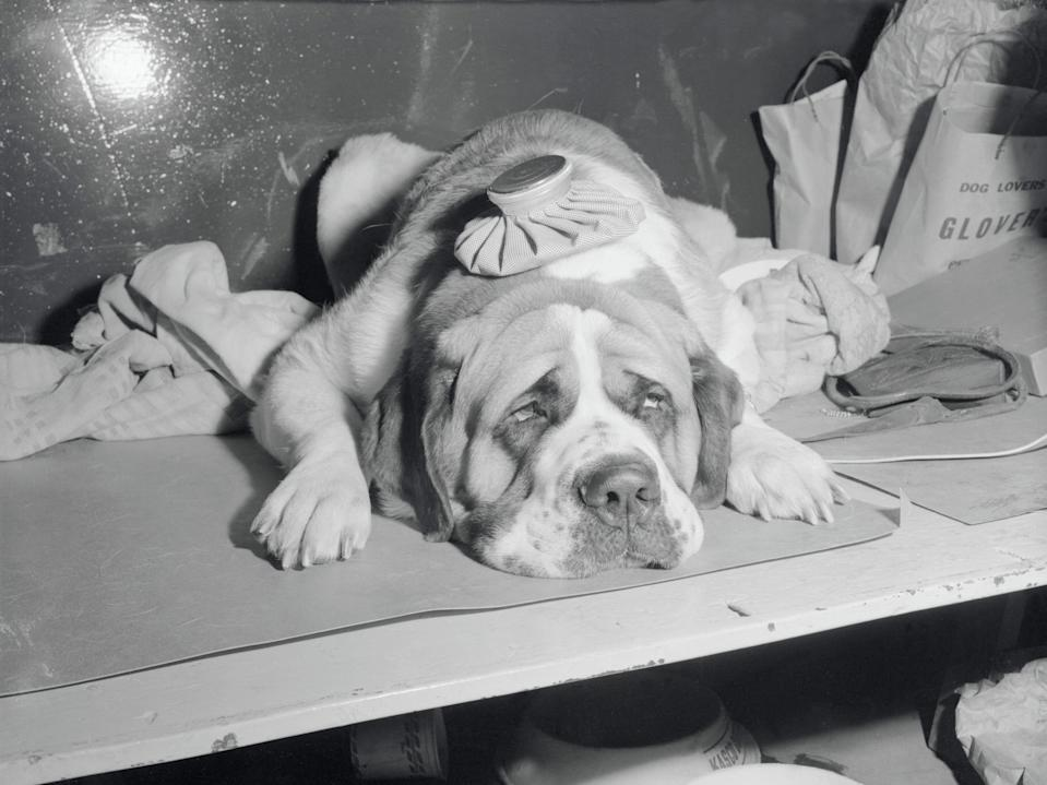 In 1955, Orion of Dolomount, a St. Bernard, gets an ice pack on his head.