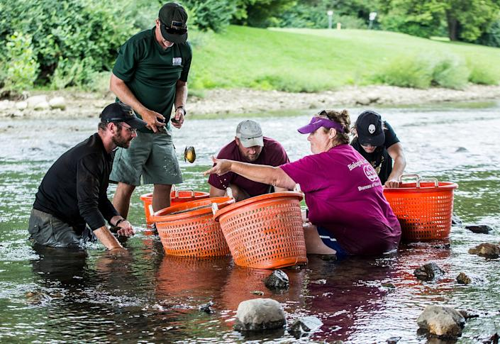 DNR officers and staff from the Bureau of Water Quality found and transported fresh water mussels from shallow mud flats along the White River as demolition of a dam lowered water levels Tuesday.