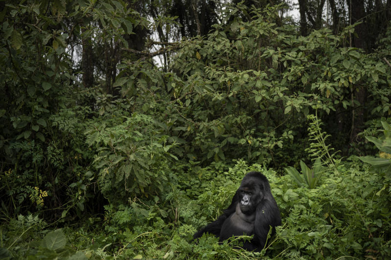 A silverback mountain gorilla named Segasira sits among plants in Volcanoes National Park, Rwanda. (Photo: Felipe Dana/AP)