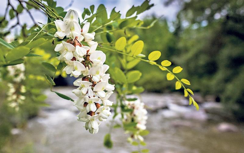 Robinia wltm is the the largest of this year's missing genera, the deciduous false acacia, or black locust tree - Alamy