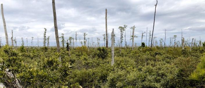 """<span class=""""caption"""">Ghost forest panorama in coastal North Carolina.</span> <span class=""""attribution""""><span class=""""source"""">Emily Ury</span>, <a class=""""link rapid-noclick-resp"""" href=""""http://creativecommons.org/licenses/by-nd/4.0/"""" rel=""""nofollow noopener"""" target=""""_blank"""" data-ylk=""""slk:CC BY-ND"""">CC BY-ND</a></span>"""