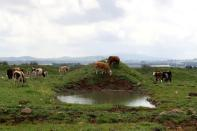 FILE PHOTO: Cows graze in a grassy area near Mas'ada in the Israeli-occupied Golan Heights