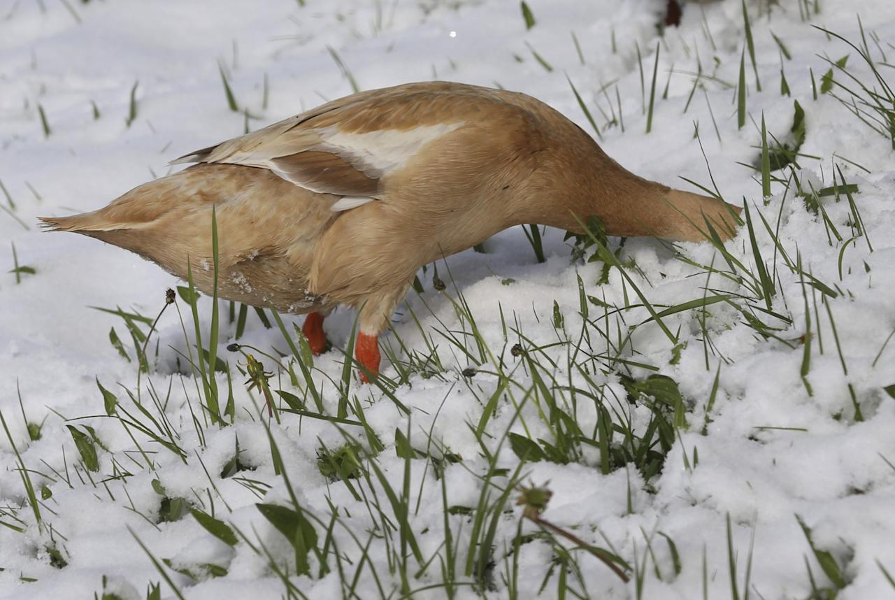 <p></p><p>An Indian Runner duck searches for food on a snow-covered meadow in Aitrang, southern Germany. (Karl-Josef Hildenbrand/dpa via AP) </p><p></p>