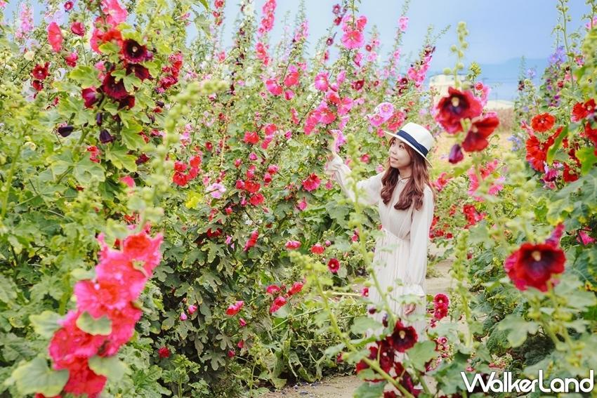 The fields around Xuejia District's Guanghua Village Activity Center are famous for their hollyhock flowers. (Photo courtesy of Taipei Walker)