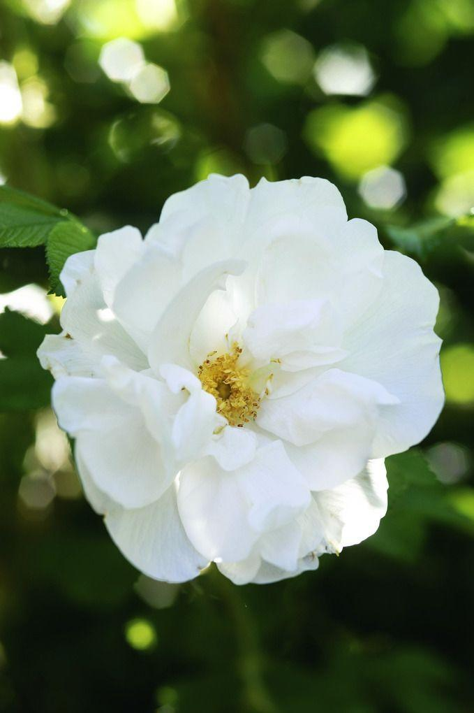 <p>This fragrant shrub rose is a perfect choice if you don't want to worry about pruning. Let it grow big; once the flowers fade, red rose hips provide an extra season of color. </p>