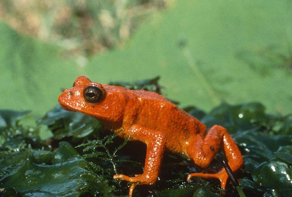 """<p>The golden toad is not the only species to disappear in the past 40 years, but it just might be the brightest.</p><p>The small toad was last seen in 1989 in a Costa Rican rainforest before being declared extinct in 1994. It is believed that Chytridiomycosis, a fatal skin disease, decimated this toad population that was already vulnerable thanks to what <em>Science</em> is calling a """"<a href=""""https://www.sciencemag.org/news/2010/03/global-warming-didnt-kill-golden-toad"""" rel=""""nofollow noopener"""" target=""""_blank"""" data-ylk=""""slk:limited habitat and small population"""" class=""""link rapid-noclick-resp"""">limited habitat and small population</a>.""""</p><p><strong>Cause of Extinction:</strong> pollution, global warming, and chytrid skin infections led to the extinction of this species.</p>"""
