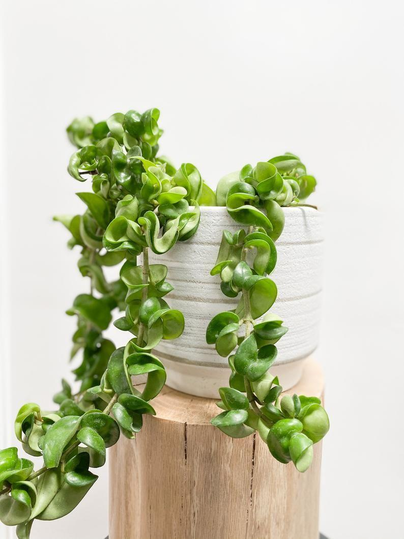"""<p><strong>GreenerForestCo</strong></p><p>etsy.com</p><p><strong>$68.32</strong></p><p><a href=""""https://go.redirectingat.com?id=74968X1596630&url=https%3A%2F%2Fwww.etsy.com%2Flisting%2F880588818%2Fhoya-carnosa-compacta-rope-hoya-in-2in&sref=https%3A%2F%2Fwww.veranda.com%2Foutdoor-garden%2Fg34699145%2Flow-light-houseplants%2F"""" rel=""""nofollow noopener"""" target=""""_blank"""" data-ylk=""""slk:Shop Now"""" class=""""link rapid-noclick-resp"""">Shop Now</a></p><p>This curling rope like vine called a Hoya Wax plant requires some light, but prefers indirect. Water regularly during spring and summer while it's growing after the top layer of soil is dry, but can be watered more sparingly in the colder, dormant months (around once a month).</p>"""