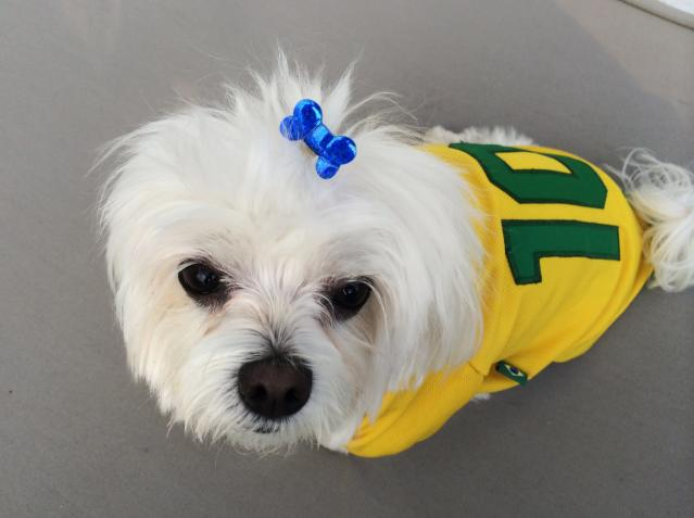 Sophie, a Maltese dog, wears a Brazil jersey during a party in Sao Paolo June 17, 2014. In a project called 'On The Sidelines' Reuters photographers share pictures showing their own quirky and creative view of the 2014 World Cup in Brazil. REUTERS/Tony Gentile (BRAZIL - Tags: SPORT SOCCER WORLD CUP SOCIETY ANIMALS) ATTENTION EDITORS: PICTURE 18 OF 40 FOR PACKAGE 'ON THE SIDELINES' TO FIND ALL IMAGES SEARCH 'SIDELINES TOPCUP'
