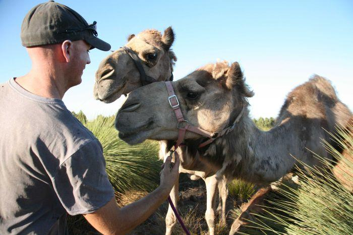 Dairy Camels with handler