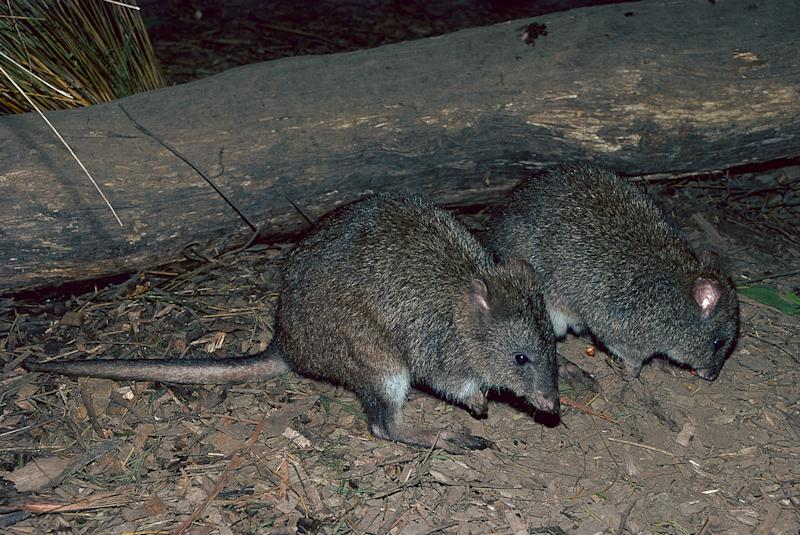Long-footed potoroos are a forest-dwelling rat-kangaroo found in New South Wales and Victoria. (Photo: GARY LEWIS via Getty Images)