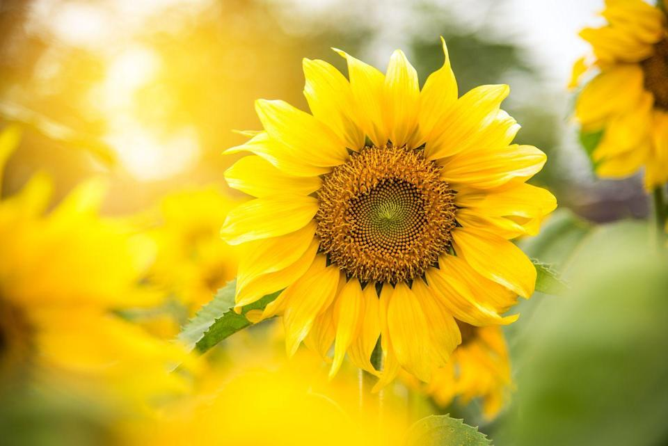 """<p>You guessed it: Sunflowers love sun, and summer. Plus, they <a href=""""https://www.hgtv.com/outdoors/flowers-and-plants/flowers/growing-sunflowers-when-to-plant-and-how-to-grow-sunflowers#:~:text=Sunflowers%20are%20tall%2C%20tough%20plants,a%20wildlife%20or%20pollinator%20garden."""" rel=""""nofollow noopener"""" target=""""_blank"""" data-ylk=""""slk:can grow up to 14 feet tall"""" class=""""link rapid-noclick-resp"""">can grow up to 14 feet tall</a>, so watching them bloom and develop over the season is a lot of fun.</p><p><a class=""""link rapid-noclick-resp"""" href=""""https://www.amazon.com/gp/slredirect/picassoRedirect.html/ref=pa_sp_atf_aps_sr_pg1_1?ie=UTF8&adId=A00861491BCR0B5VKY0KT&url=%2FNatureZ-Edge-Sunflower-Variety-Planting%2Fdp%2FB088TVVZC3%2Fref%3Dsr_1_1_sspa%3Fdchild%3D1%26keywords%3Dsunflower%2Bseeds%2Bplant%26qid%3D1620327022%26sr%3D8-1-spons%26psc%3D1&qualifier=1620327022&id=8402155496139757&widgetName=sp_atf&tag=syn-yahoo-20&ascsubtag=%5Bartid%7C10070.g.36355297%5Bsrc%7Cyahoo-us"""" rel=""""nofollow noopener"""" target=""""_blank"""" data-ylk=""""slk:Buy sunflower seeds."""">Buy sunflower seeds. </a></p>"""