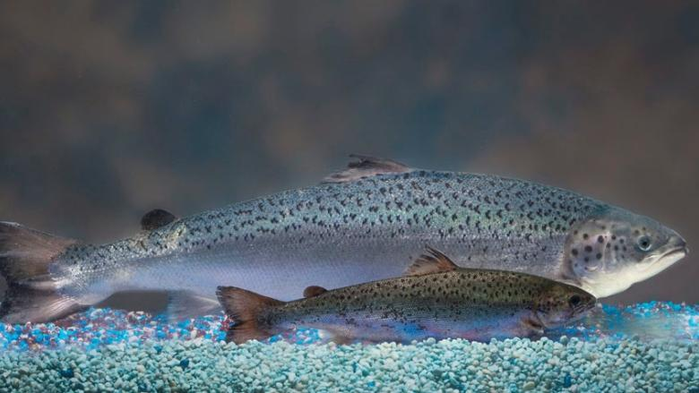 FDA's approval of AquaBounty GMO salmon decried by environmental groups