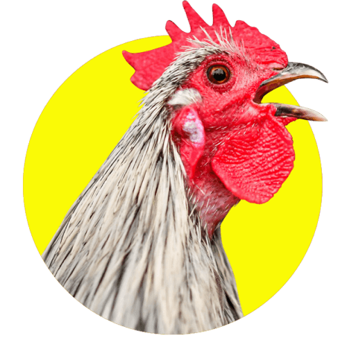Cockerel head on a yellow circle