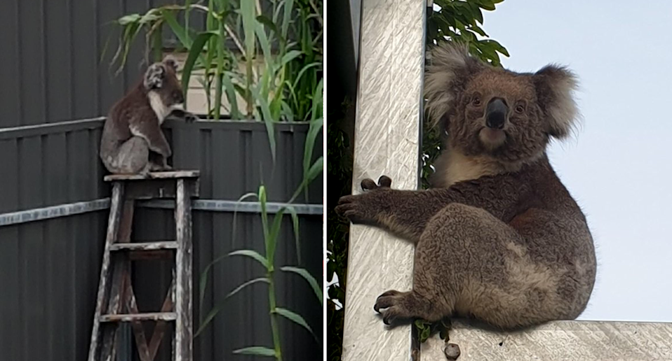 Koalas are increasingly being rescued from backyards around the south of Adelaide. Source: Southern Koala Rescue