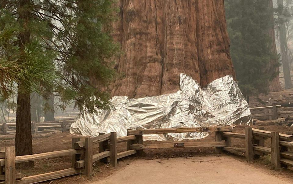 Firefighters wrap the historic General Sherman Tree - AFP
