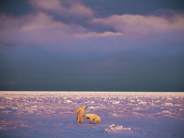 Young male polar bears spar under the low light of winter in Svalbard, a cluster of islands halfway between Norway and the North Pole. Polar bears thrive here—roughly half the estimated 3,000 bears in the Berents Sea population raise their young on the archipelago's isolated islands.