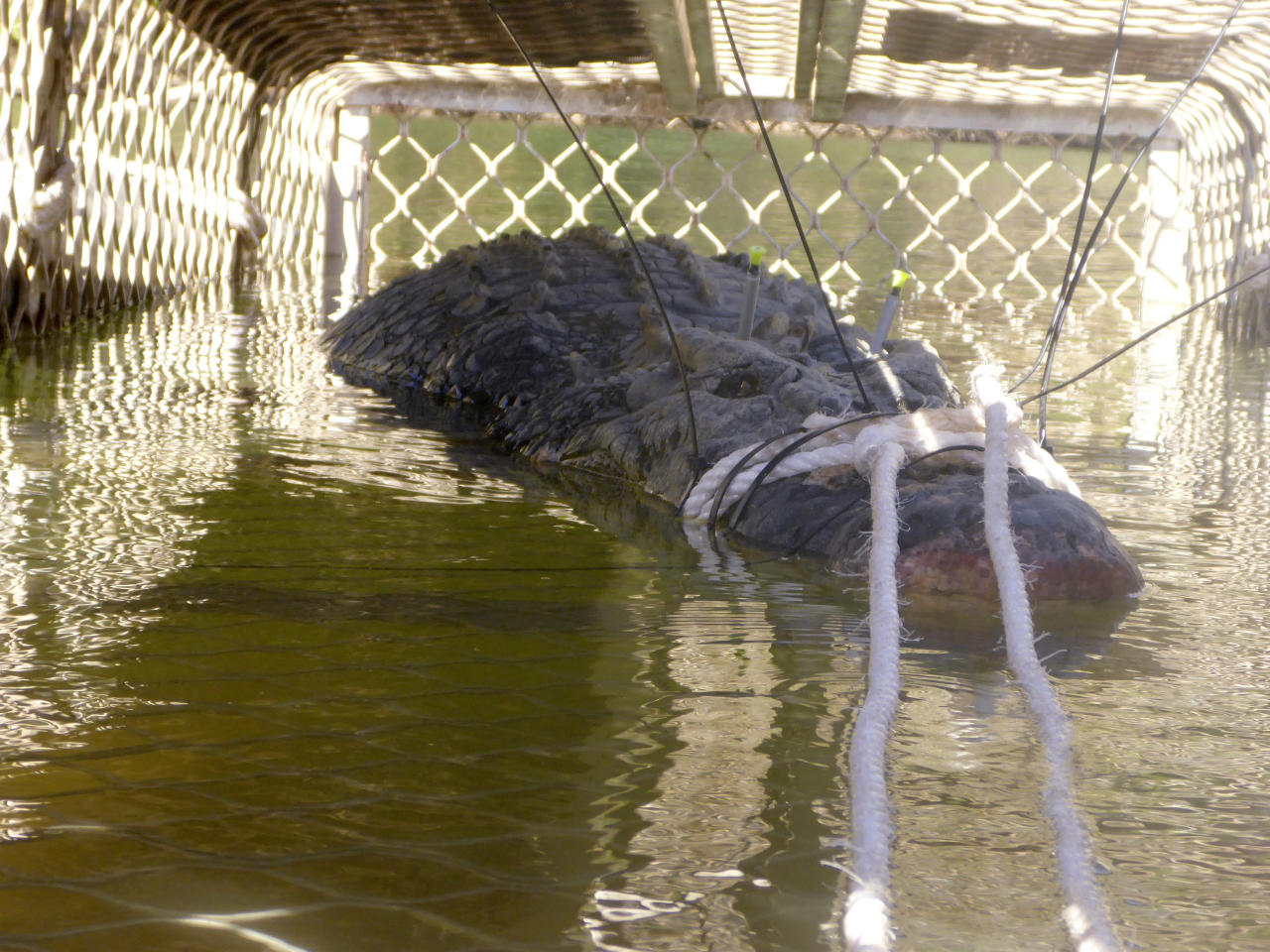 In this Monday, July 9, 2018, photo provided by the Northern Territory Department of Tourism and Culture, a large crocodile is captured in a trap near Katherine, Australia. Northern Territory Parks and Wildlife said in a statement on Tuesday, July 10, 2018, it had trapped the 600-kilogram (1,300-pound) reptile only 30 kilometers (19 miles) downstream from Katherine Gorge, a major tourist attraction outside the Northern Territory town of Katherine. (NT Department of Tourism and Culture via AP)
