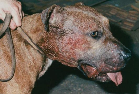 Dog fighting has been recorded in nearly every county in England. (RSPCA)