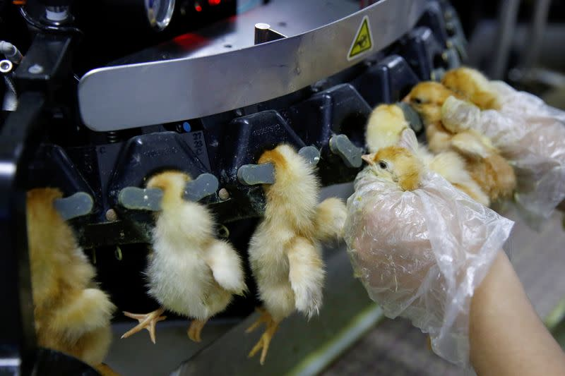 FILE PHOTO: A worker inserts recently hatched layer chicks into a machine that clips their beaks at the Huayu hatchery in Handan