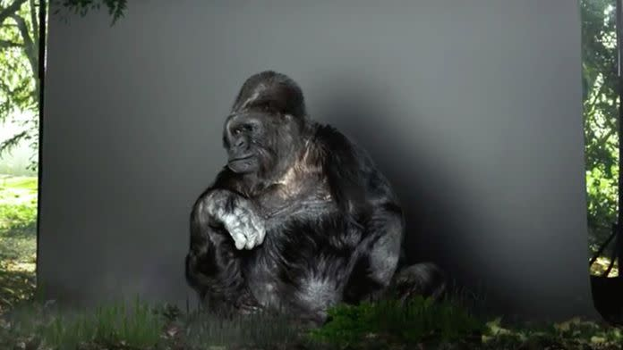 Koko, the 44-year-old gorilla who scientists claim can communicate through sign language. Photo: The Gorilla Foundation