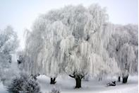 <p>A frosted willow tree in Minnesota looks like something out of a fantasy movie.</p>