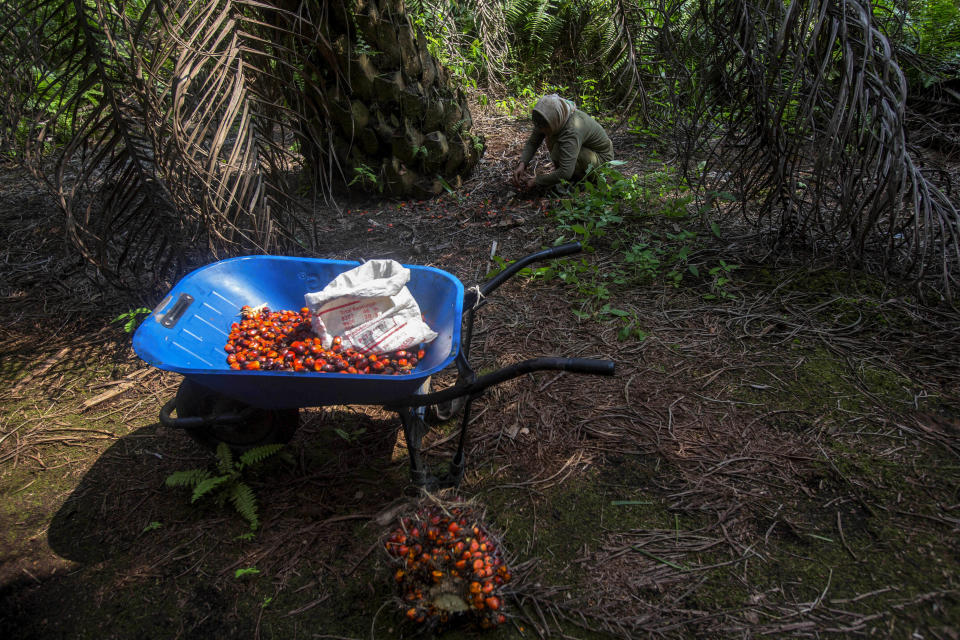 A woman collects palm kernels from the ground at a palm oil plantation in Sumatra, Indonesia, Wednesday, Feb. 21, 2018. Some female workers in palm oil plantations suffer from collapsed uteruses, called fallen womb, caused by the weakening of the pelvic floor from repeatedly squatting and carrying overweight loads. (AP Photo/Binsar Bakkara)