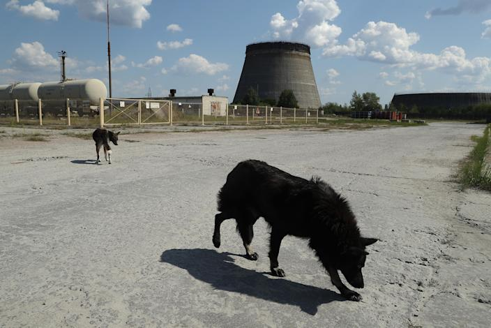 <p>Stray dogs hang out near an abandoned, partially completed cooling tower at the Chernobyl nuclear power plant on Aug. 18, 2017, near Chernobyl, Ukraine. (Photo: Sean Gallup/Getty Images) </p>