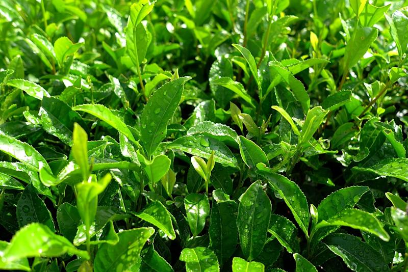 All types of tea, except herbal tea, are brewed from the dried leaves of the Camellia sinensis bush