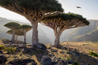 <p>On the Socotra island of Yemen, you'll find some odd and unreal-looking dragon blood trees. The name of the tree hails from its alarmingly red sap.</p>