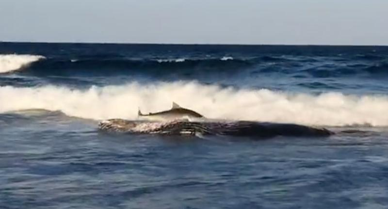 The shark and whale carcass off Ponta Beach in southern Mozambique (pictured)