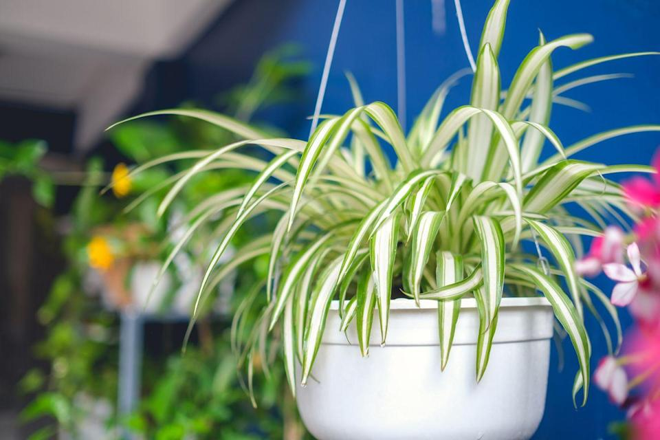 """<p>Spider Plants are classic for a reason: They have long strappy leaves and arching stems with tiny plantlets on the ends, which can be pinched off to make new baby plants. Stick it in a room with bright light, even though it'll adjust to low-light conditions. Water it when the soil is slightly dry.</p><p><a class=""""link rapid-noclick-resp"""" href=""""https://www.amazon.com/Hirts-Reverse-Variegated-Spider-Plant/dp/B006EO502Y/?tag=syn-yahoo-20&ascsubtag=%5Bartid%7C10055.g.32440507%5Bsrc%7Cyahoo-us"""" rel=""""nofollow noopener"""" target=""""_blank"""" data-ylk=""""slk:SHOP SPIDER PLANT"""">SHOP SPIDER PLANT</a></p>"""
