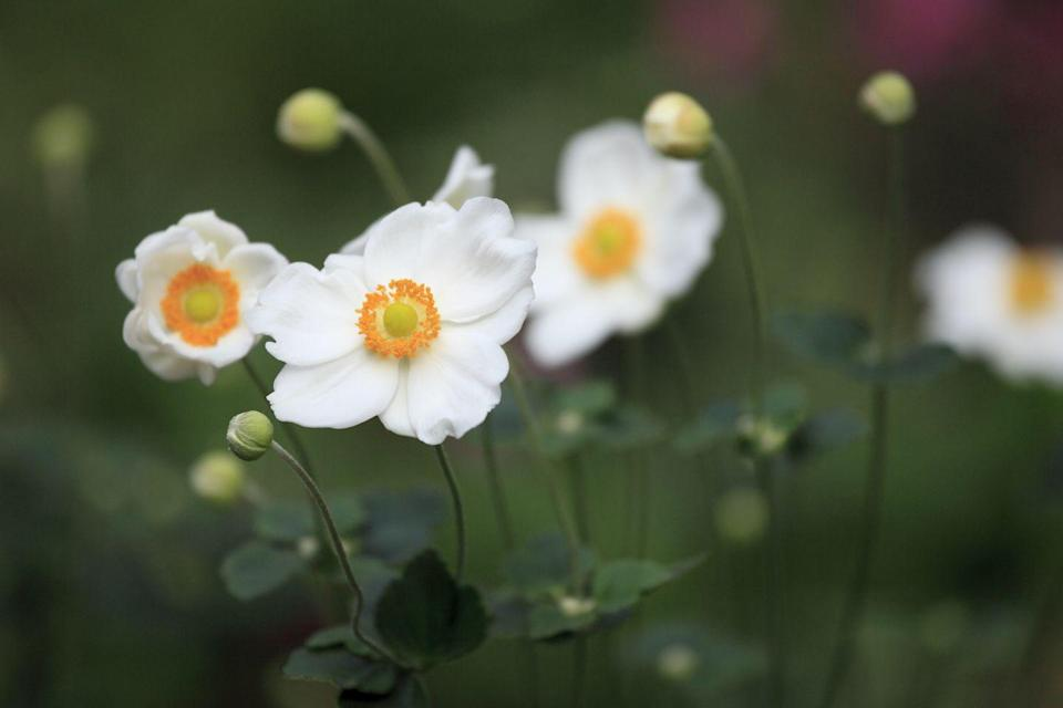 """<p>How stunning are these Japanese anemones? Often found in woodland locations or beneath trees, they are a superb late-flowering perennial that will fill your garden with blooms from August until October. </p><p><a class=""""link rapid-noclick-resp"""" href=""""https://www.thompson-morgan.com/p/anemone-x-hybrida-honorine-jobert/T58296TM"""" rel=""""nofollow noopener"""" target=""""_blank"""" data-ylk=""""slk:BUY NOW VIA THOMPSON & MORGAN"""">BUY NOW VIA THOMPSON & MORGAN</a></p>"""