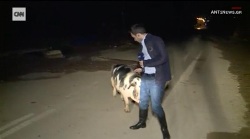 Pig Won't Stop Following Reporter Around and Biting Him On-Air as He Tries to Cover Flooding in Greece