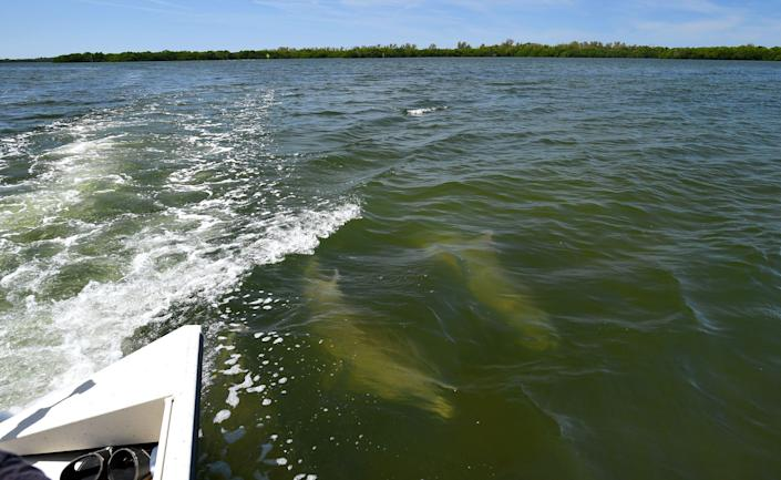 Two dolphins swim in the wake of a Tampa Bay Waterkeeper boat Wednesday during a media tour of the wastewater discharge location at Port Manatee.  Millions of gallons of industrial wastewater are being pumped into Tampa Bay as the result of a leak at the Piney Point fertilizer plant processing plant. Taken March 31, 2021.