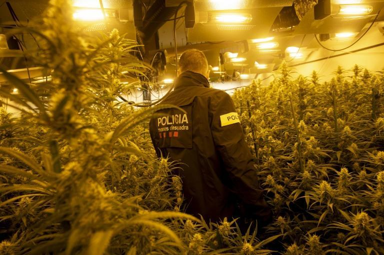 After decades as the gateway for Moroccan hashish to enter Europe, Spain is now seeing illegal plantations multiply