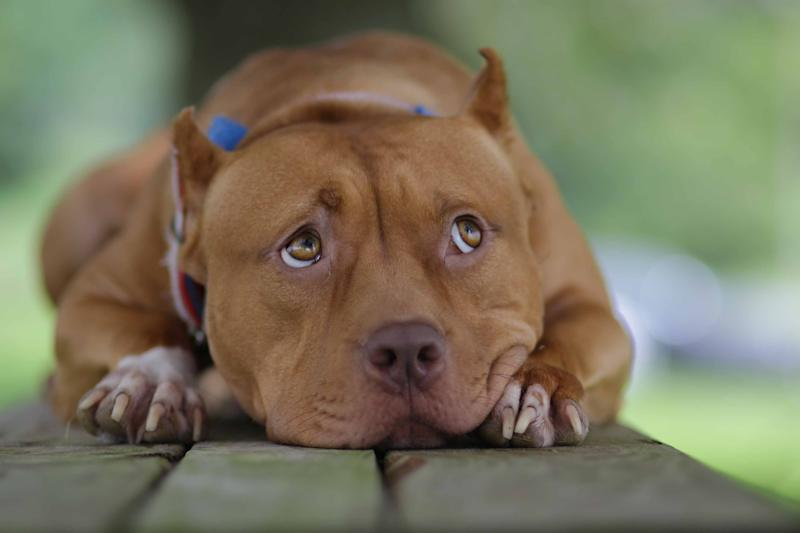 3-year-old Sayuri, an American pit bull terrier from Wilmington, stars in Quentin Tarantino's new movie