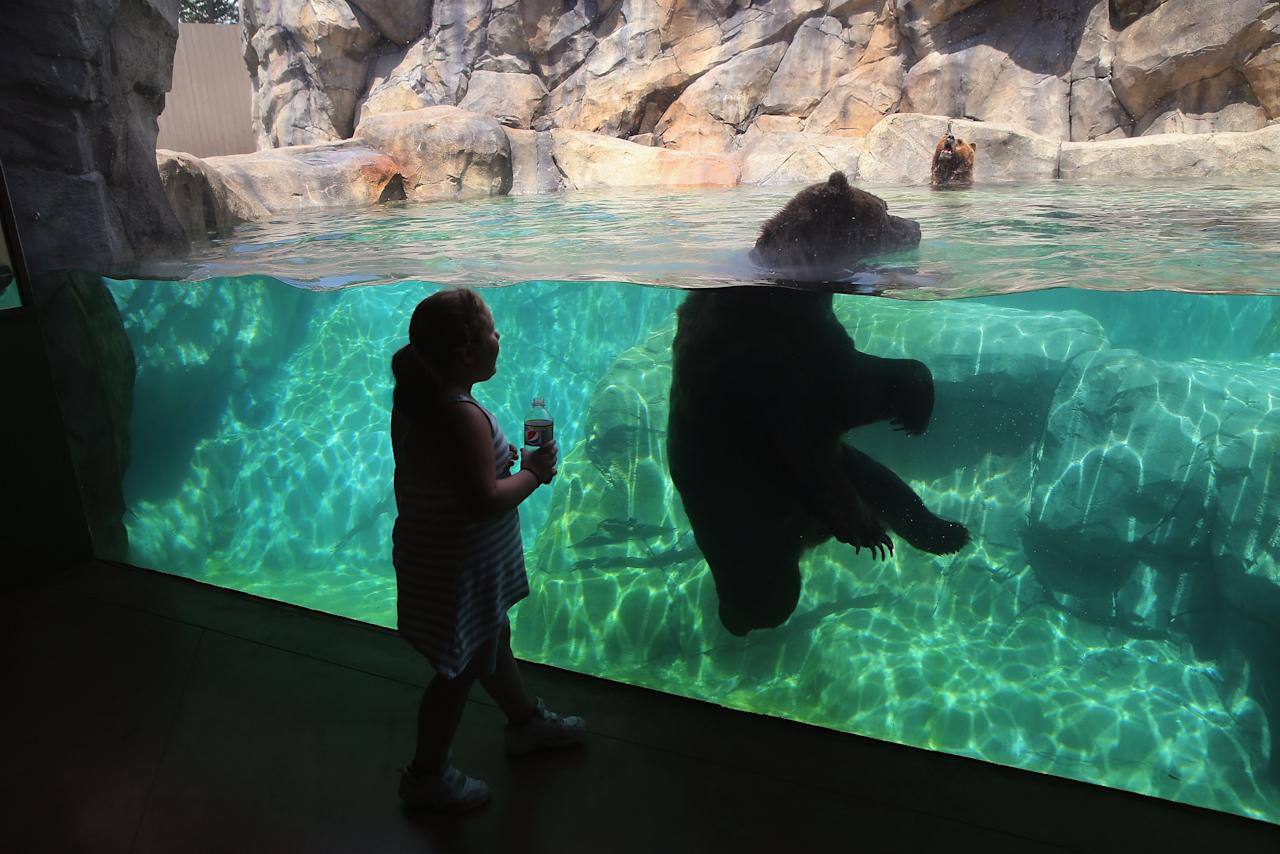 BROOKFIELD, IL - JULY 18: A grizzly bear cools down with a swim in his enclosure at Brookfield Zoo on July 18, 2013 in Brookfield, Illinois. A heat wave continues to grip much of the country today with temperatures expected to top 90 degrees in forty-seven states. (Photo by Scott Olson/Getty Images)
