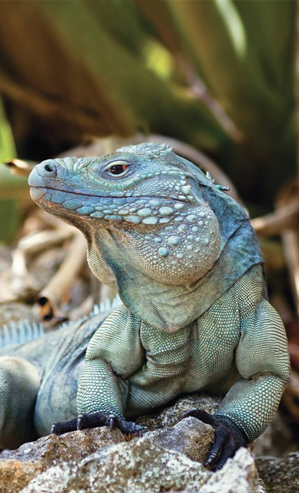 Iguanas Have Oldest Reptilian Sex Chromosome