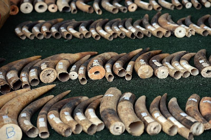 Elephant tusks are displayed by wildlife officials after more than 700 kilogrammes of ivory items were seized on the island of Koh Samui, in Bangkok on December 18, 2015 (AFP Photo/Christophe Archambault)