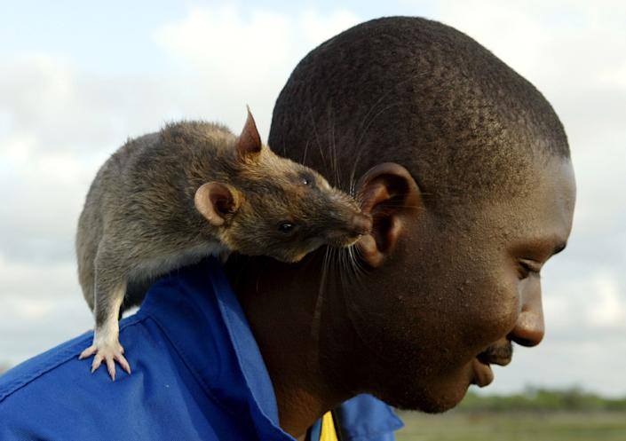 Tanzanian rat handler Kassim Mgaza plays with a Gambian giant pouch rat at a suspected anti-personnel minefield in southern Mozambique. The rat, which is infesting Florida, can reproduce within five months of birth. REUTERS/Howard Burditt