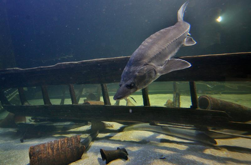 A Sturgeon is seen in an aquarium in the Danube river port city of Tulcea, Romania on May 17, 2011. The sturgeon thrived in the Danube for 200 million years, migrating from feeding grounds in the Black Sea to Germany some 1,200 miles (2,000 kms) upstream. Archaeologists have found wooden sturgeon traps in the ruins of Roman fortresses behind the willow trees on the Danube's banks, along with bones dated to the 3rd century. Fishermen, unrestrained after the collapse of order in eastern Europe in 1989, caught them in huge numbers as they began their migration, trapping them before they could reproduce. Now, environmentalists are trying to head off the latest threat: a European Union plan to deepen shipping channels that they fear could eliminate the last shallows where the sturgeon deposit their eggs _ dooming the fish to vanish in its last stronghold in Europe.(AP Photo/Nicolae Dumitrache)
