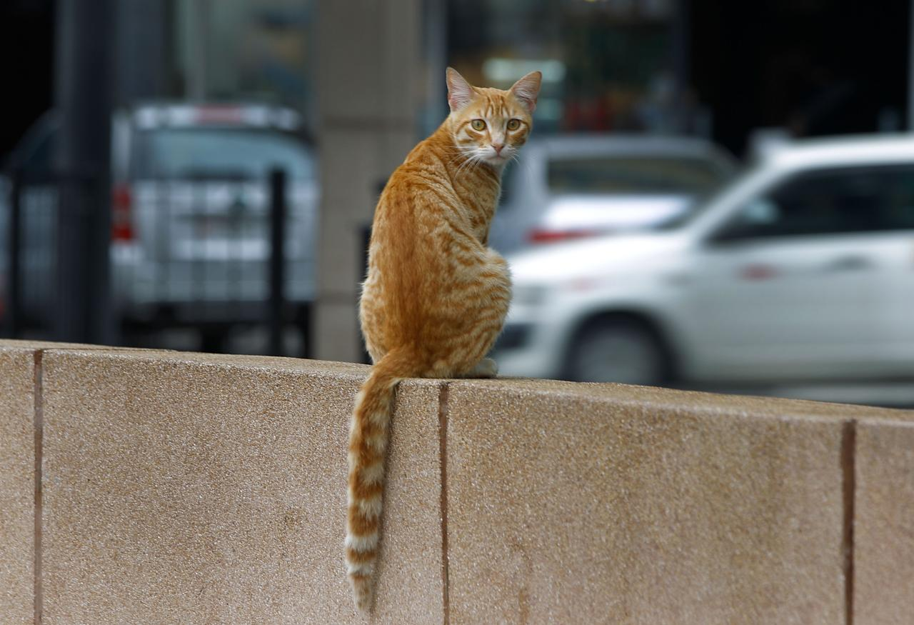 A cat sits on a wall in the central park of Lima's upscale seaside Miraflores district, in Peru, Wednesday, Aug. 2, 2012. (AP Photo/Martin Mejia)