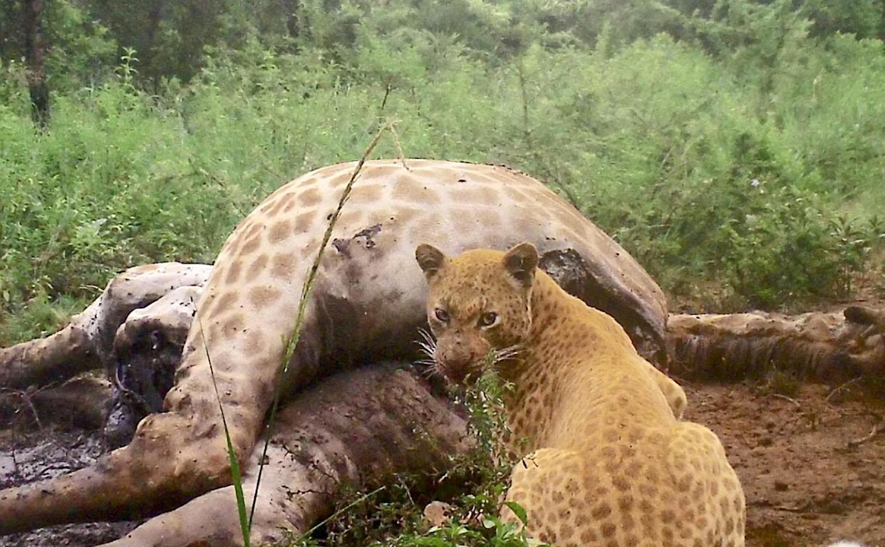 A rare strawberry leopard is caught on a trail camera feeding on a giraffe- the first time this super rare feline has been seen eating. (SWNS)