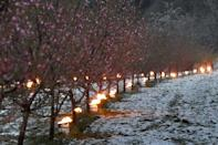 This Spring saw a late frost ravage French vineyards and orchards (AFP/Frederick FLORIN)
