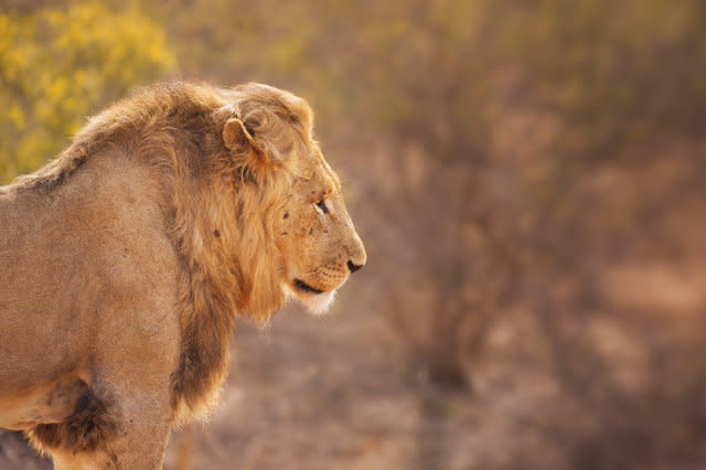 Lion in early morning sunlight in Kruger NP, South Africa