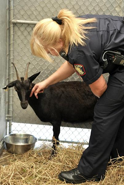 In this photo provided by the Jersey City Police Department, Lt. Kelly Chesler pets a goat at Liberty Humane Society, Tuesday, May 21, 2013, in Jersey City, N.J. Chesler was one of the officers who caught the goat, which went on the loose on the Pulaski Skyway, causing a traffic jam Tuesday morning. Capt. Edgar Martinez said it took 90 minutes for emergency services to corral the goat as it ran along the four-lane bridge between Jersey City and Kearny Point Tuesday. (AP Photo/Jersey City Police Department, Francisco Rodriguez)