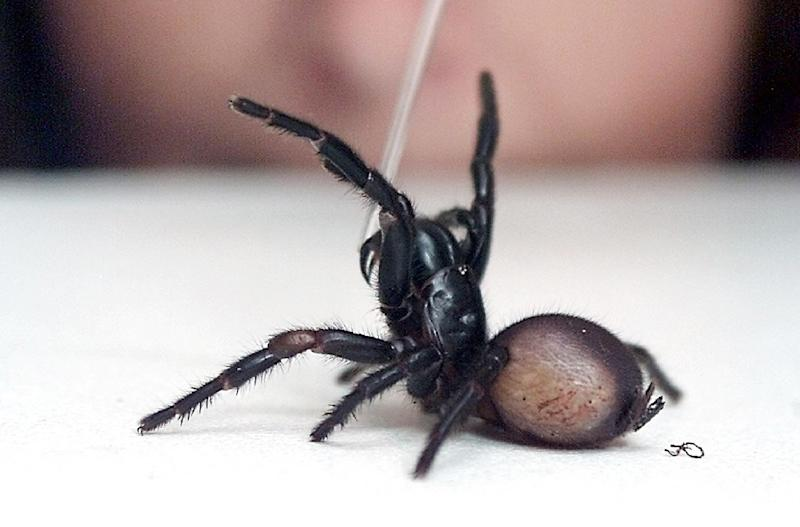 30adb93d5a Australian funnel-web spiders are particularly feared because their bite  can be fatal, although
